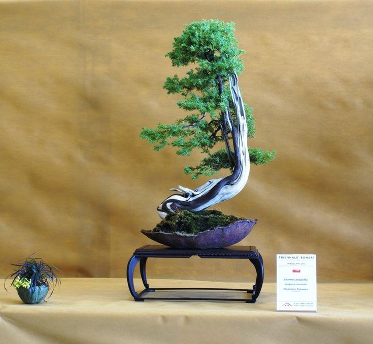 17 best images about bonsai w pietraszko polska on pinterest trees bonsai trees and pine. Black Bedroom Furniture Sets. Home Design Ideas