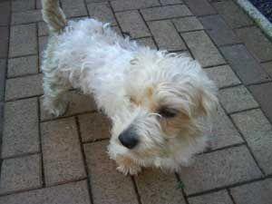 PetYourDog.com   Pet Your Dog   Lucas Terrier is looking back