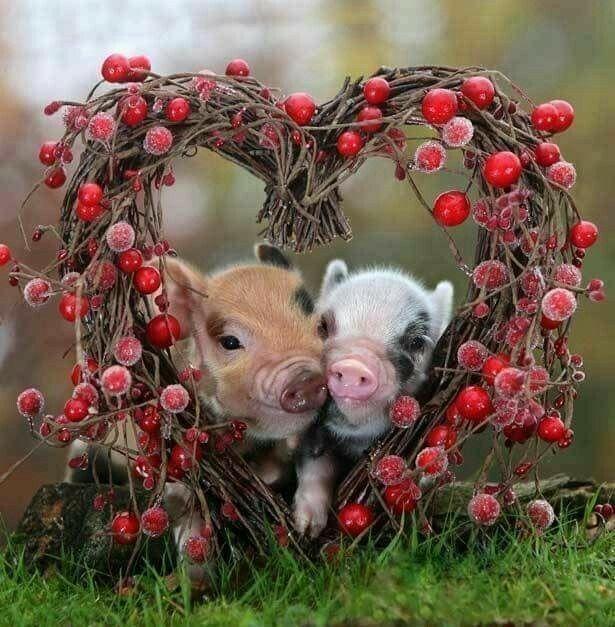Pin Von Zuleide Augusto Berti Auf Animals And Pets Baby Schwein
