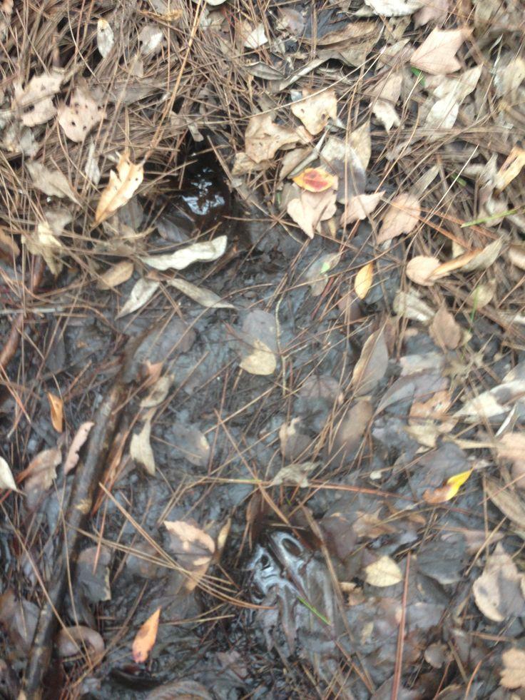 Boar Tracks