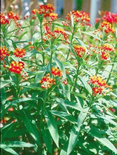The Mexican Butterfly Weed Or Butterfly Bush Is A