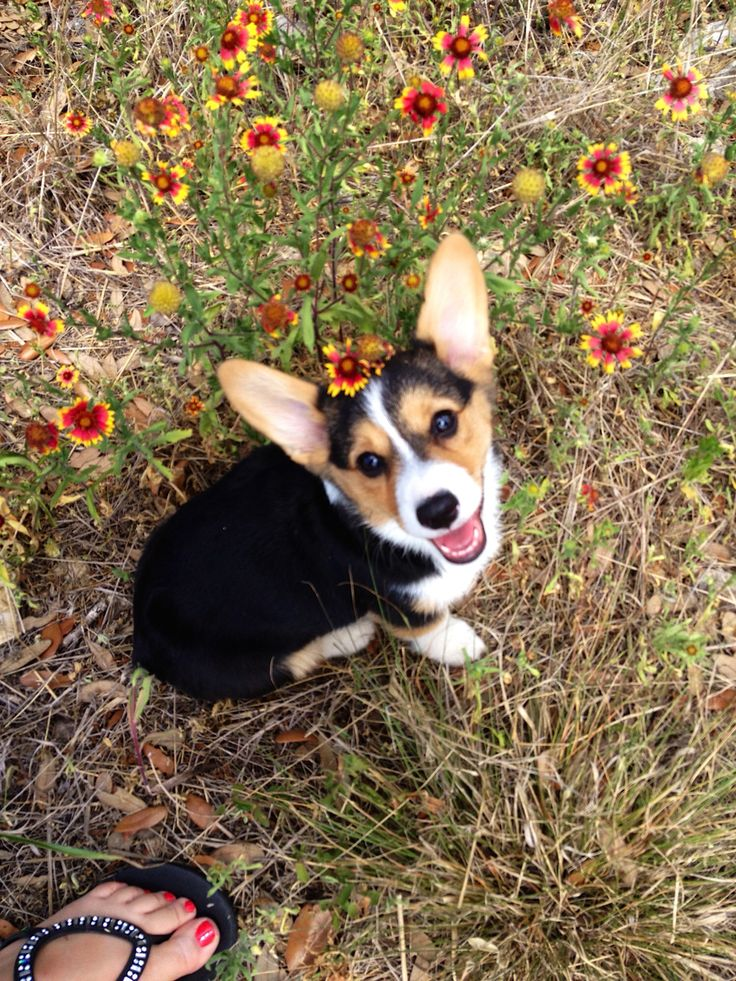 Kaia the corgi and some gaillardia