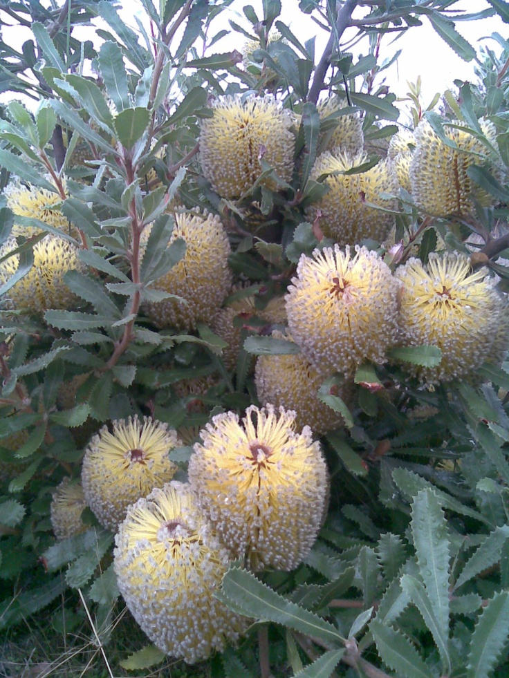 Wild Banksia in the back paddock.