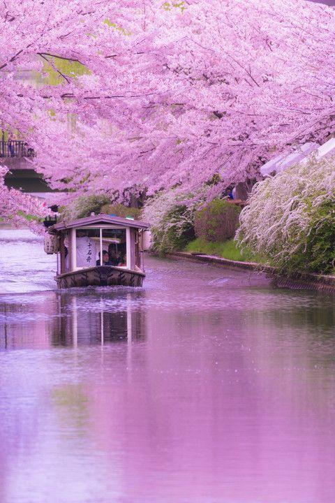 Cherry Blossom, Kyoto, Japan via αcafe   My Sony Club   ソニー #桜 #CherryBlossom #Kyoto