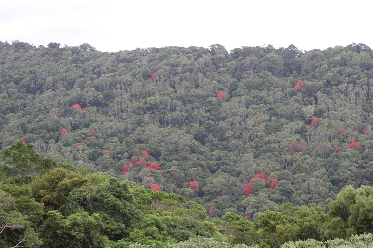 Flame trees were starting to come out in blossom in Lamington National Park - dec 2012