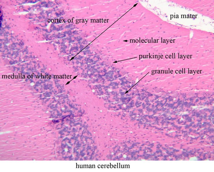30 best images about histology cerebellum on pinterest
