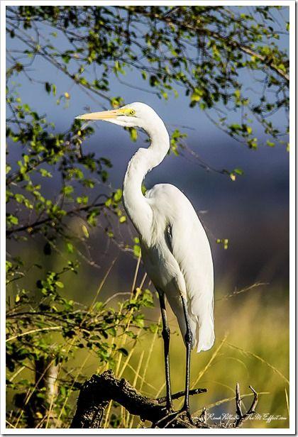 Great White Egret - Zambezi River, Zimbabwe.