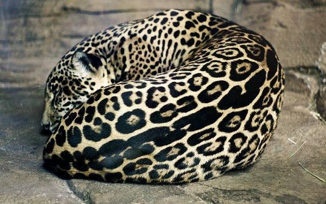 * * > The very thought that an individual would want to murder this magnificent animal just for the beauty of its' coat leaves me heartsick and sorrowful.