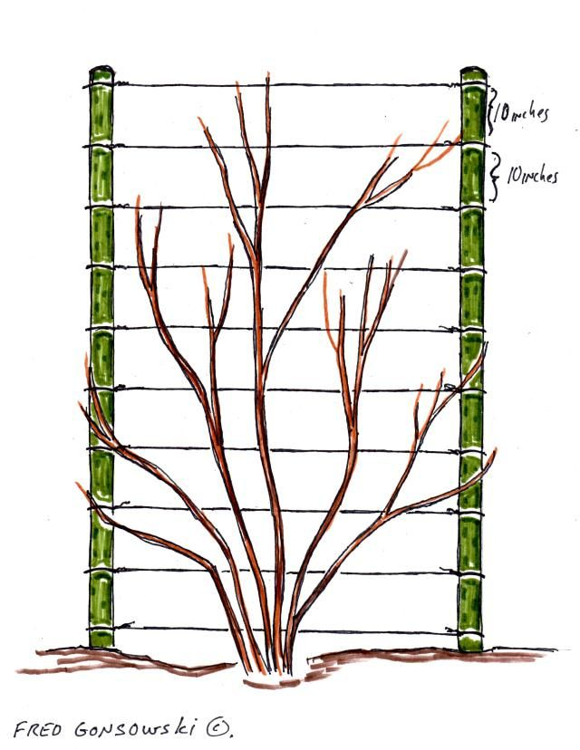 An Easy to make Trellis for Climbing Vines. To me, a fancy trellis is fine in certain places in the garden, but most of the time I think it should be about the plant, not what it grows up on. This post is about how I make my inexpensive trellises for the clematis and morning glory vines I grow in my garden. This picture is for clematis.