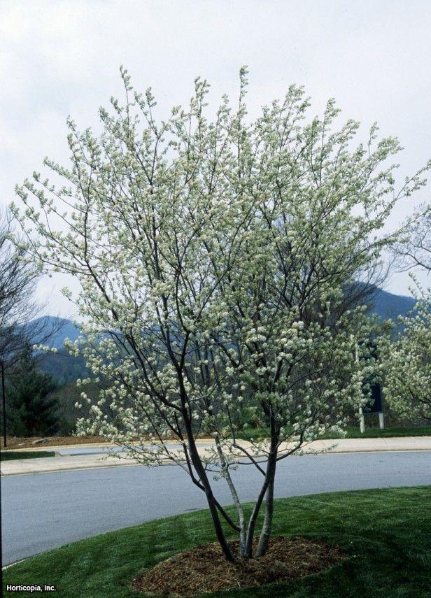 Apple Serviceberry Amelanchier X Grandiflora Princess