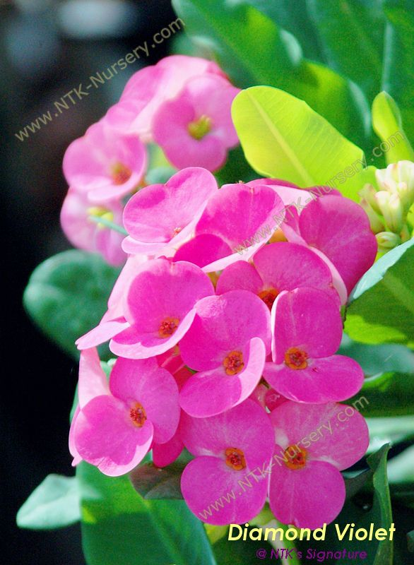 "Live Ornamental Plants - Euphorbia milii plant ""Diamond Violet"""