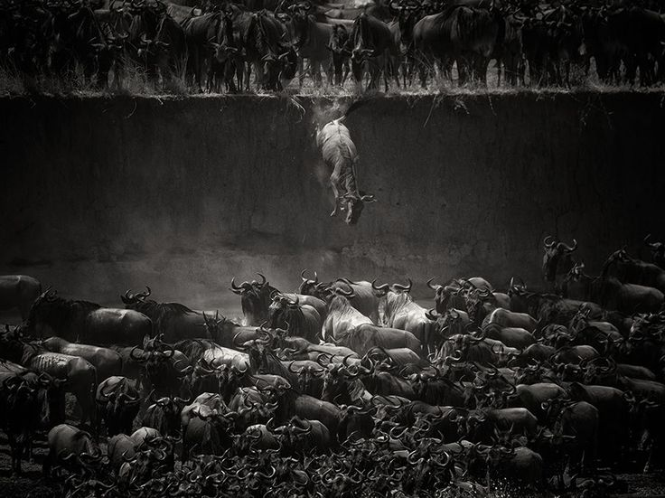 Salto di fede (durante la migrazione uno gnu salta nelle basse acque del fiume Mara in Tanzania, infestato di coccodrilli), Nicole Cambré