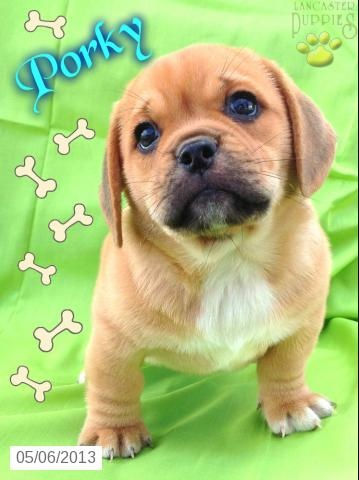 PORKY - Puggle Puppy for Sale in Honey Brook , PA - Puggle - Puppy for Sale