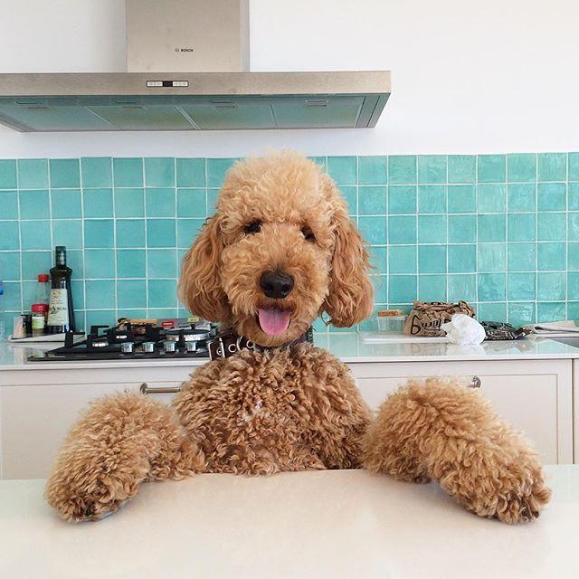 Meet @cotton.crush, the Standard Poodle. #dogsofinstagram #dog #FF #pet #F4F