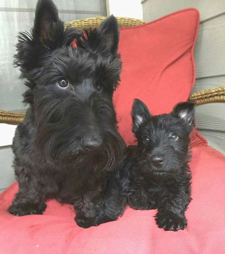 OK so I'm totally a macho dog and all but these two dood BFF's of mine are just TOO cute. Today on #hamibff (Hami Best Fur-Friend Frisay) I introduce @willythescottie and his little brother Waylin. Adorbs I know. Do you have a cute or funny or you want me to share? Make sure you tag it with #HamiBff