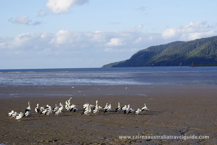 View from the Cairns Esplanade at low tide. The mud flats are rich in birdlife, some migratory and some are permanent residents, like these pelicans.