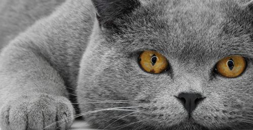 This looks just like our cat George, beautiful.