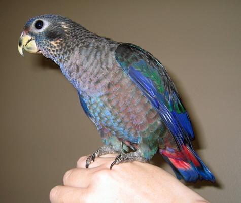 Dusky Pionus Parrot (look at that baby face!!)