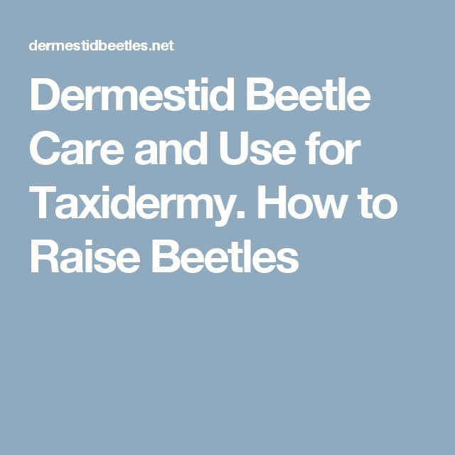 Dermestid Beetle Care and Use for Taxidermy. How to Raise Beetles