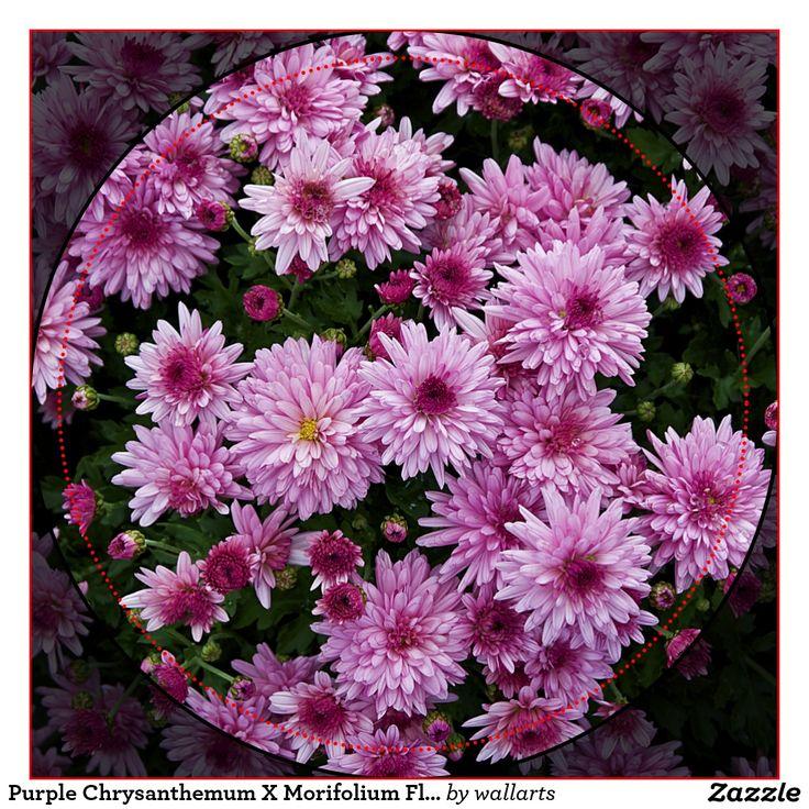 chrysanthemum x morifolium - photo #28