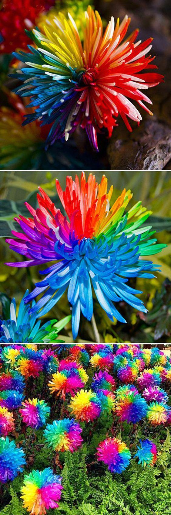 25 best ideas about rainbow flowers on pinterest for Rainbow flower seeds