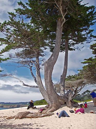 Carmel Beach, California >> I want to camp under that tree!