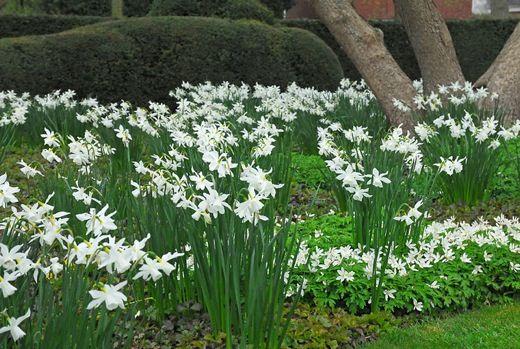 Narcissus 'Thalia', Traditional white garden, white spring flowers, grape hyacinths, Muscari botryoides, Anemone blanda white splendour, narcissus Thalia, narcissus bridal Crown, Snowdrops, Galanthus Nivalis, Leucojum Gravetye Giant