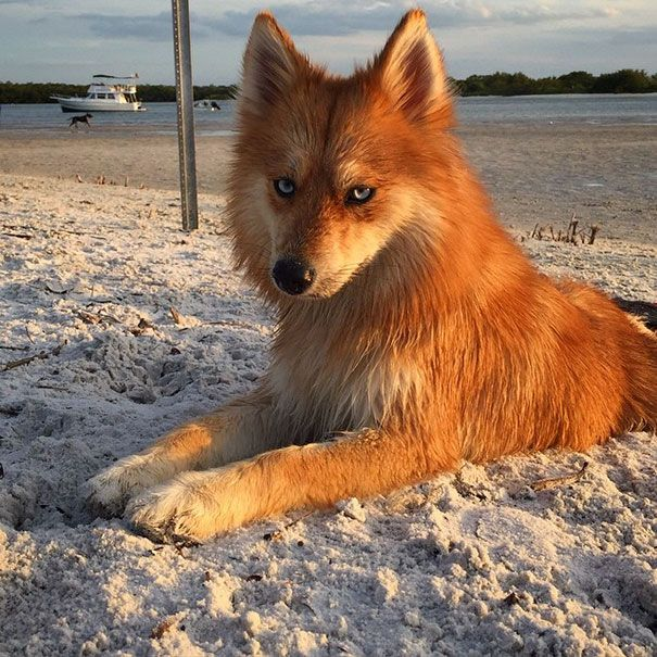 "Ever wonder if the Mozilla Firefox really exist? Here is the answer, this fox dog is Pomeranian-Husky Mix, Pomsky. He has a name ""Mya"".It might just be the mix of cutest dog and cutest fox we've ever seen. Mya lives with her human Dave Lasio in South Florida, see more his pictures on Instagram."