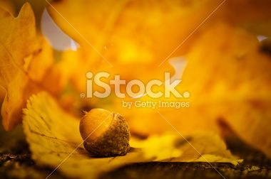 Autumn acorn and leaf macro Royalty Free Stock Photo