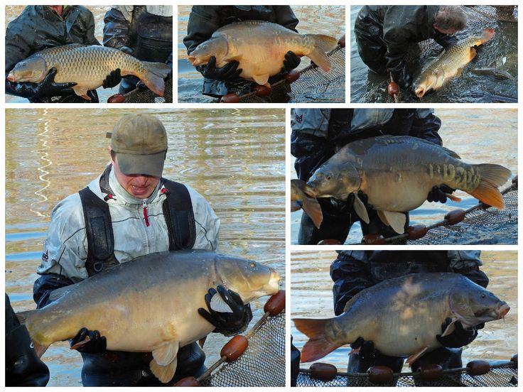 Some of our specimen carp when they were netted this winter. www.frenchcarpandcats.com
