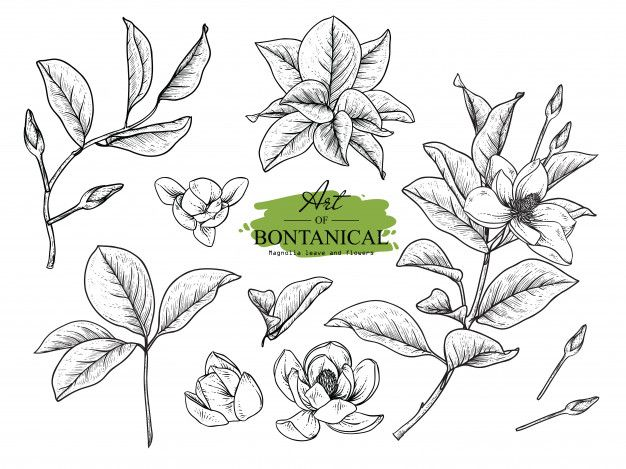 Magnolia Leaf And Flower Drawings Flower Drawing Floral Botany Leaf Drawing