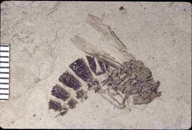 Fossil Bee. Colorado Florissant Fossil Beds. Lived in Oligocere, about 35 million years ago.
