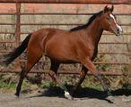 Paint Horses, Quarter Horses For Sale - Ranch Geldings, Mares, Fillies, Stallions, foals