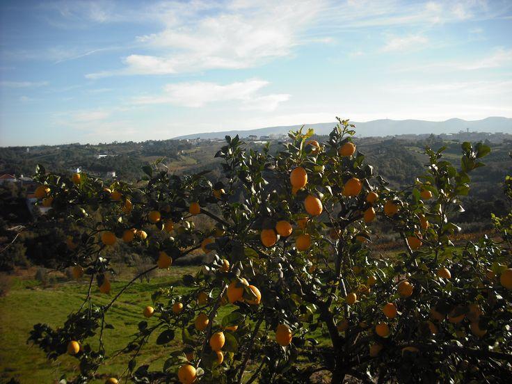 O nosso limoeiro e a boa vista do nosso terreno!