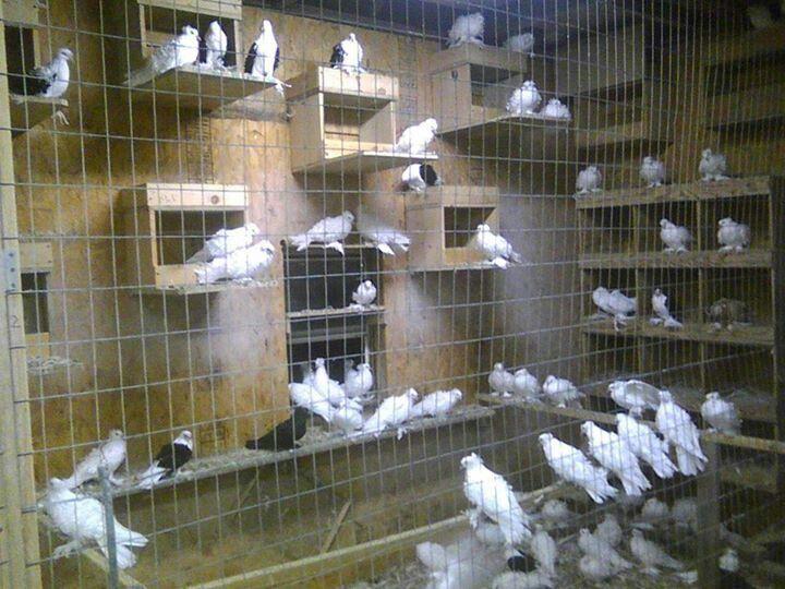 62 best pigeon images on pinterest