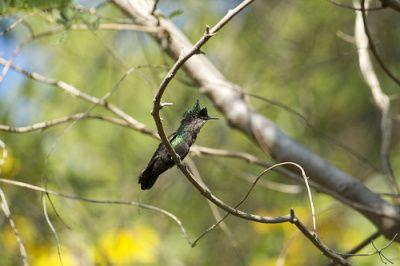 Zumbador Crestado - Éste habita la costa, y es común desde Fajardo hasta Ceiba. También se encuentra en Vieques, Culebra y las Islas Vírgenes.  http://biodiversidadpr.com/2013/01/14/los-zumbadores-de-puerto-rico/