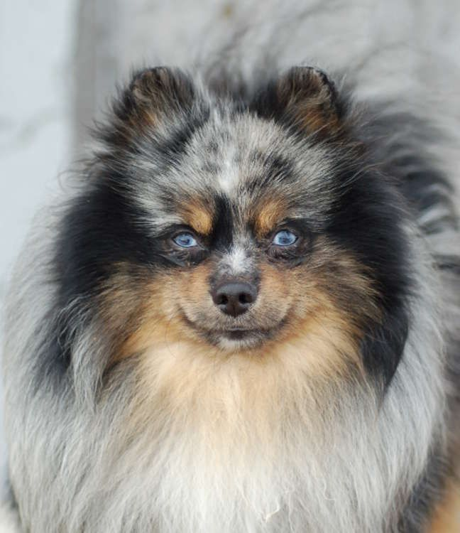 pomeranian eyes best 25 blue merle pomeranian ideas on pinterest merle 835