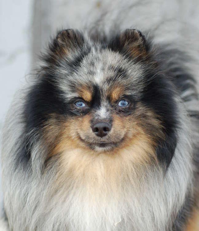Merle Pomeranian | Animals I love | Pinterest