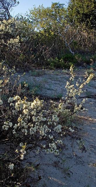 Beach Plum, Prunus maritima, spring