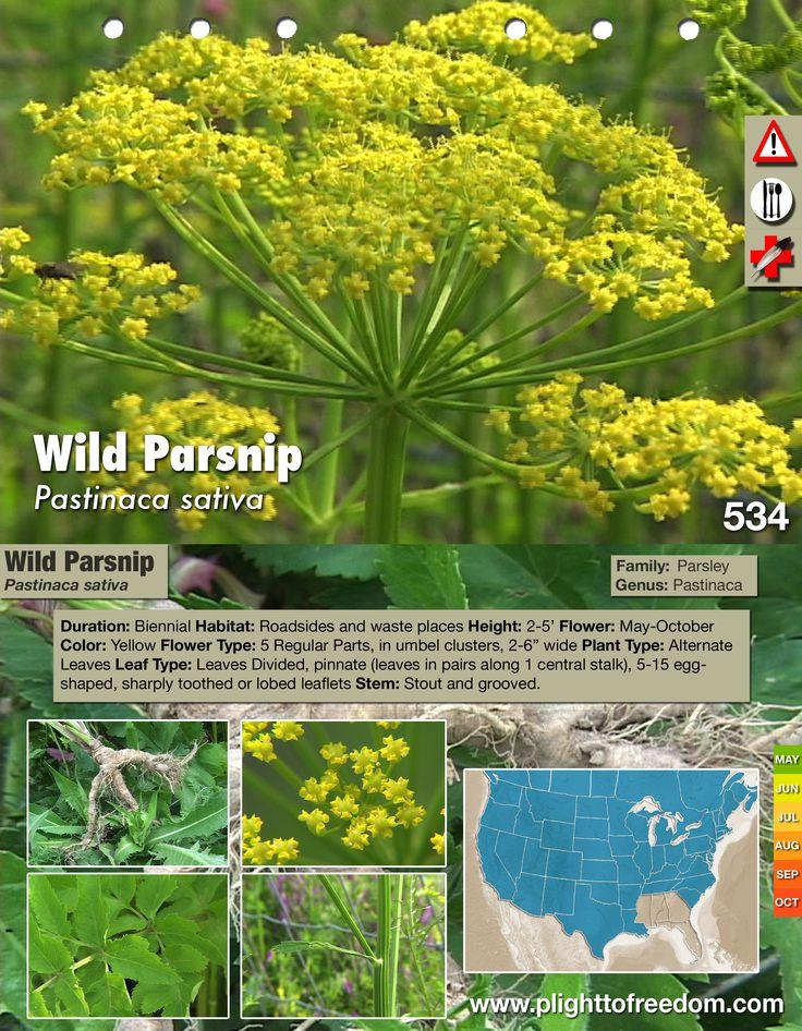 Wild Parsnip sap causes burn like blisters