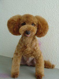 Pics of poodle cuts