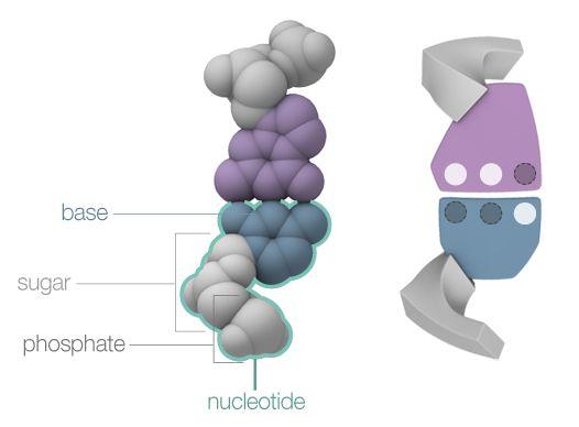 how to make a dna molecule model