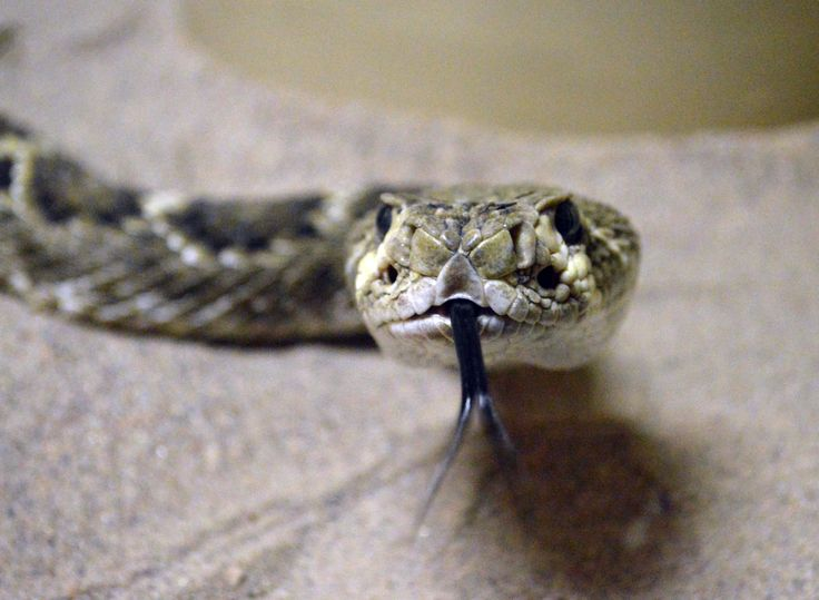 アルバカーキにあるAmerican International Rattlesnake Museum(http://www.rattlesnakes.com/)のガラガラヘビです(2013年10月22日撮影).