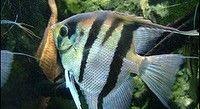 Zoetwater aquarium vissen maanvissen