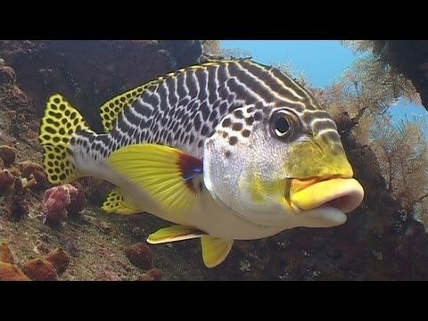 Diving in Bali (720p). Bigger, clearer version of my DVD about scuba diving in Bali, shot in 2006. It's 54 mins long, so take time out and watch it at 720p HD.    You can view the common and scientific names of all the marine life by turning on the captions under the CC button. The film features the USAT Liberty Wreck, Coral Garden and the Drop-off from Tulamben, macro from Seraya Secrets, Blue Lagoon and Pura Jepun from Padangbai, and the manta rays of Manta Point from Nusa Penida.