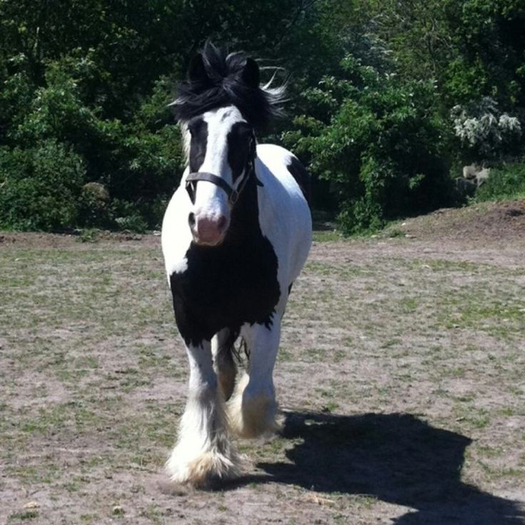 Mr Gucci. My gypsy cob saying hayyyyyy