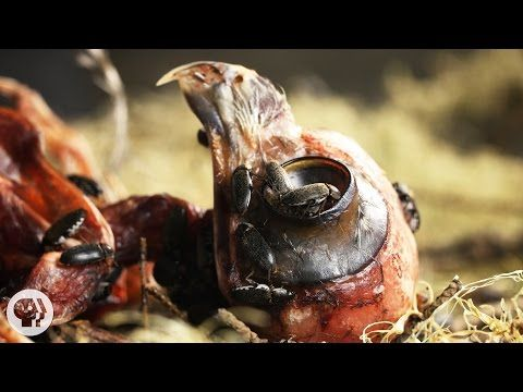 Halloween Special: Watch Flesh-Eating Beetles Strip Bodies to the Bone | Deep Look - YouTube