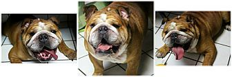 6/17/17 Forked River, NJ - English Bulldog. Meet Axel, a dog for adoption. http://www.adoptapet.com/pet/18375257-forked-river-new-jersey-english-bulldog