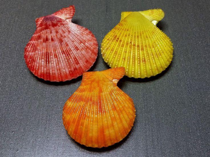 Pecten chlamys senatoria, Philippines, Set of 3
