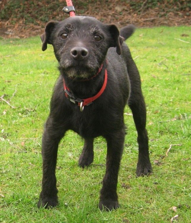 Adopt a patterdale terrier